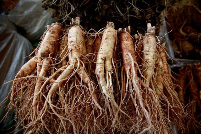 A view of ginseng roots. EFE/EPA/FILE