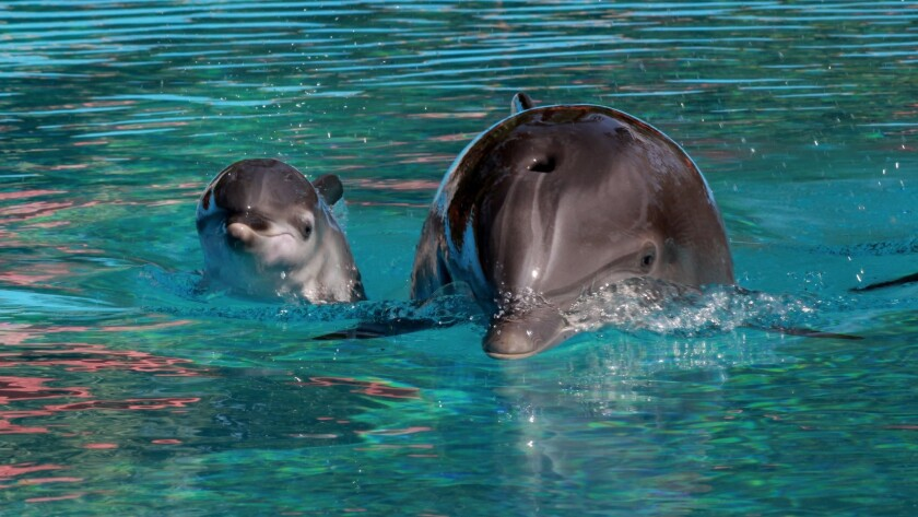 Visitors may stop by 10 a.m. to 7 p.m. daily to see the dolphin at Siegfried & Roy's Secret Garden a
