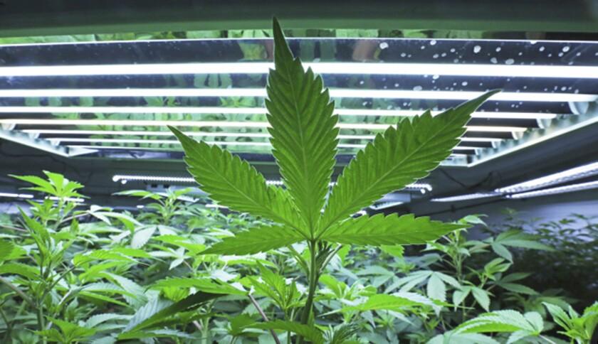 This June 5, 2017, photo shows a marijuana leaf in the vegetative room at Alaska Cannabis Cultivator