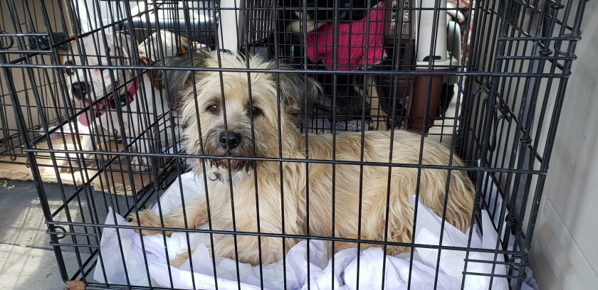 Nearly two dozen dogs were rescued from Mexico and brought on Saturday to the Rancho Coastal Humane Society.