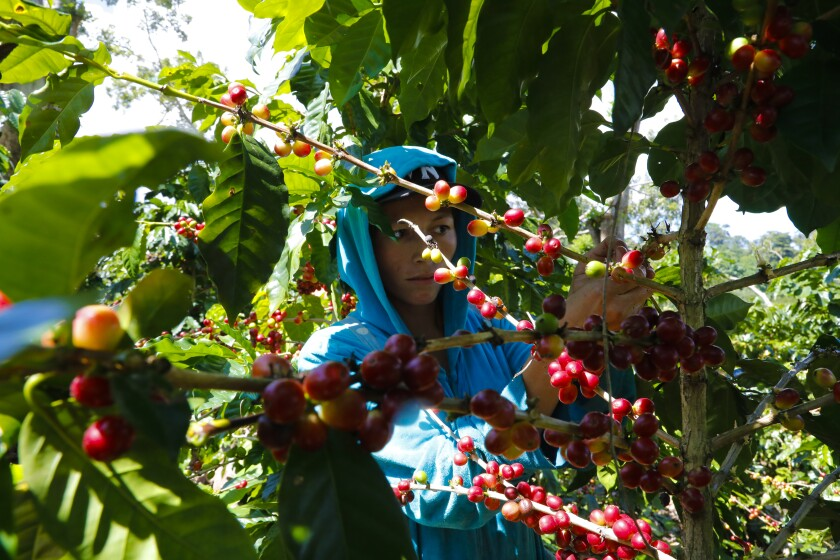 In the mountainous city of Matagalpa in Nicaragua, farm workers pick the cherries from coffee plants