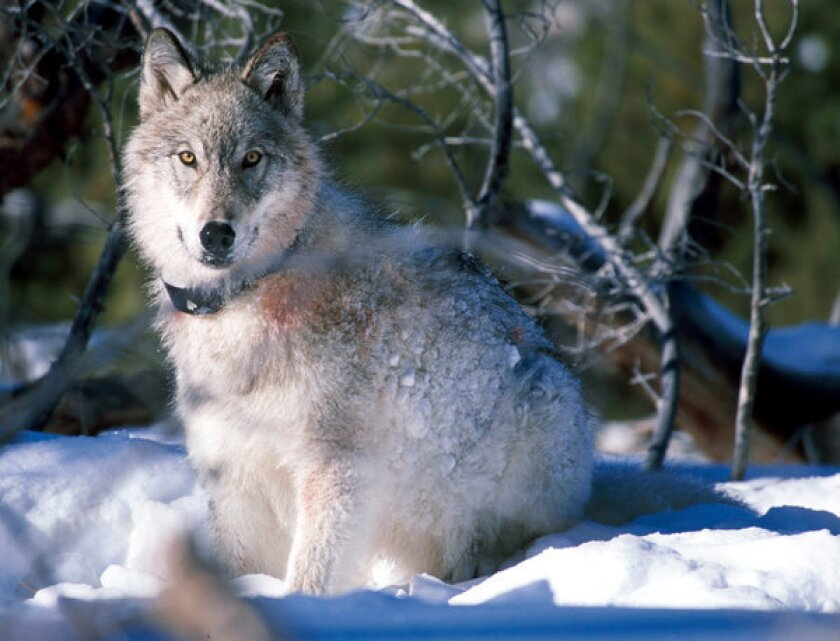 More than 550 wolves taken by hunters and trappers in Rockies