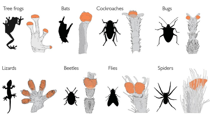 Adhesive pads in various animals