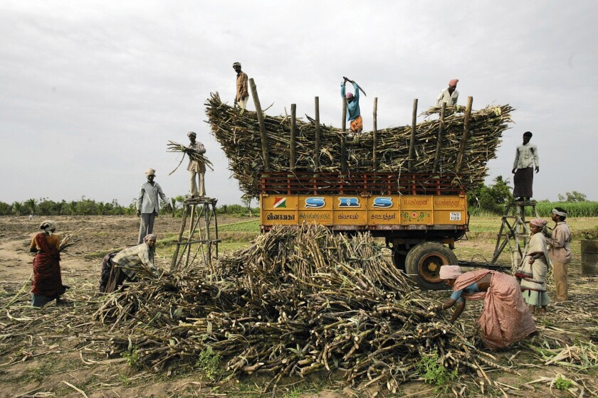 Migrant workers cut and stack sugar cane in southern India's Tamil Nadu state. In western India, a farm crisis and drought have driven farmers to seek work in the sugar cane industry as migrant laborers.