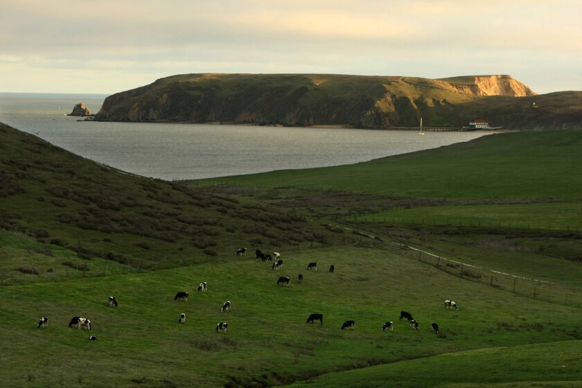 Cattle graze on some of the hundreds of acres of farmland at Point Reyes National Seashore. Dairy farmers and ranchers say they feel burdened by red tape.