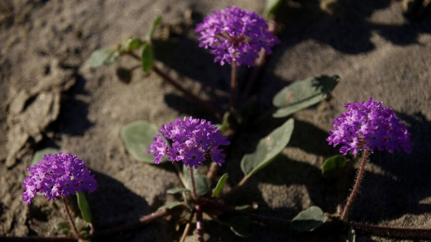 Sand verbena is one of the early wildflowers visitors can see now at Anza Borrego Desert State Park northeast of San Diego. Peak blooms are expected on the desert floor this month after the heavy winter rains.
