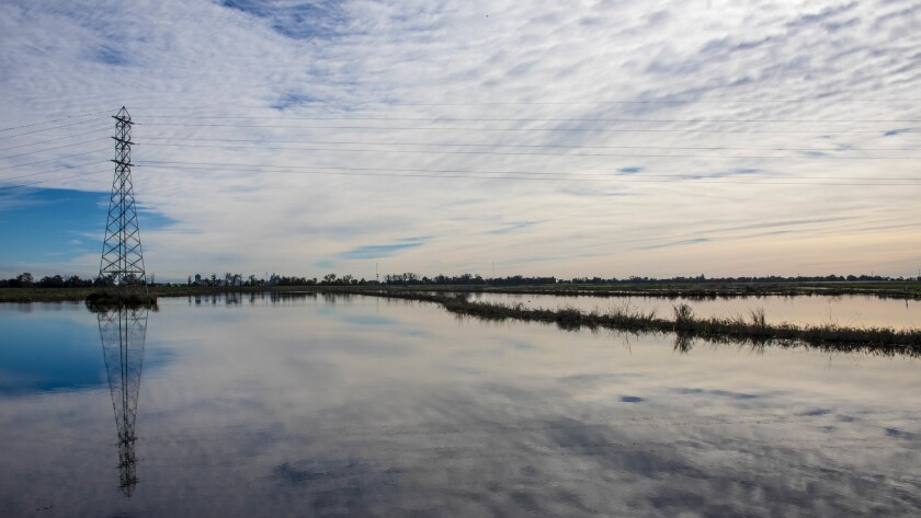 A flooded rice field on River Garden Farms in the Sacramento Valley is part of an experiment to feed Chinook salmon in the Sacramento River.