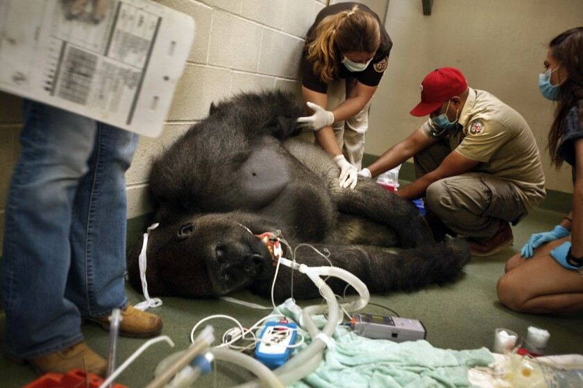 Animal keepers work with Jabari, a western lowland gorilla, who is recovering from valley fever. He has had the infection for about three years and has recently regained the weight he lost when he initially fell ill.