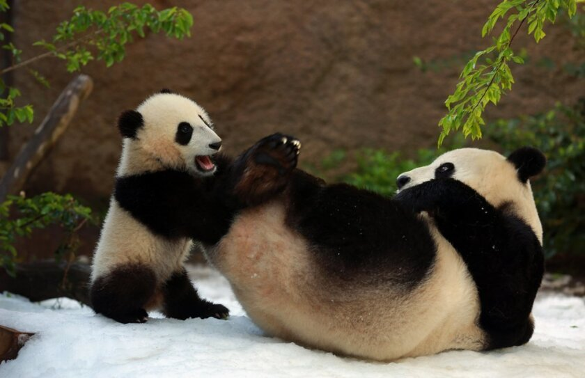 Baby panda Xiao Liwu had his first day in the snow in March at age seven months at the San Diego Zoo, and tried to get his mother Bai Yun to join in some action.