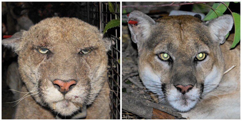 Griffith Park's mascot, P-22, has gone from a mange-infested puma in 2014 to his healthy self again, as a recent image shows.