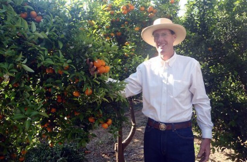 In this photo provided by Mulholland Citrus, Owner Tom Mulholland is shown next to W. Murcott trees on Wednesday, May 5, 2010 in Orange Cove, Calif. A new variety of mandarin oranges being touted as virtually seedless is coming to stores this spring after more than a decade of development. The Tango oranges, which look and taste good and peel easily, replicate the best features of its widely grown predecessor, W. Murcott. But most important, the Tango is bee proof. (AP Photo/Mulholland Citrus)