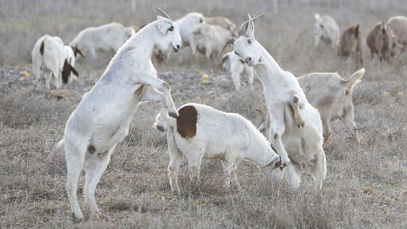 Irvine Ranch Conservancy is using goats to eat away vegetation to help prevent brush fires.