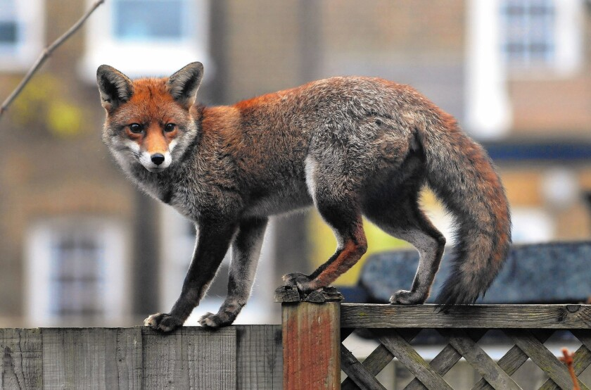 A fox walks along a garden fence in West London. In the years between the two World Wars, Britain's suburbs pushed deep into the fox's natural habitat in the countryside, and many foxes in turn headed for the inner city.