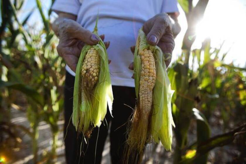 Farmer Donna Melton holds drought-stricken ears of corn plucked from her fields this week outside Eldorado, Ill.