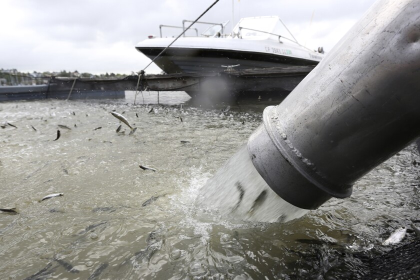 Salmon are seen coming out of a tube into the water next to a boat