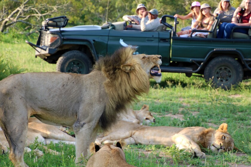 lions_with_jeep_img_7362.jpg