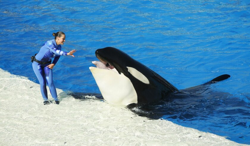 An orca whale performs during the One Ocean show at SeaWorld San Diego.