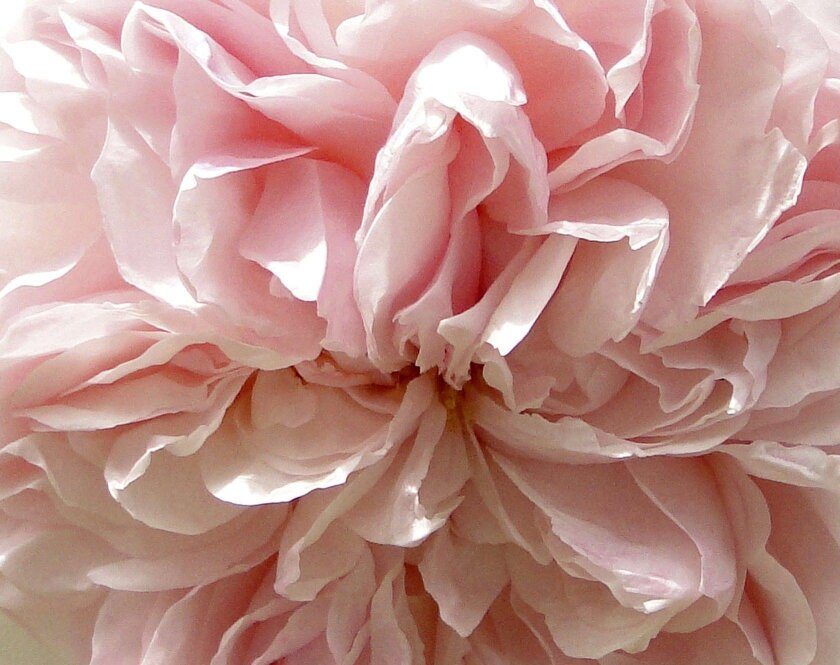 """David Austin's """"Evelyn"""" is known for its fragrance."""