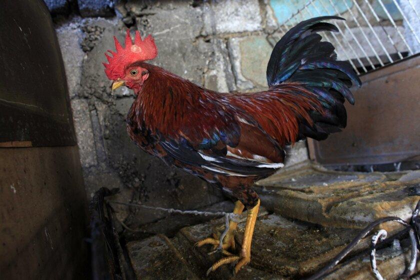 AP PHOTOS: Cockfighting is popular pastime in poor Haiti