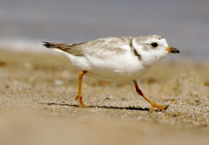 "FILE - In this July 12, 2007 file photo, a piping plover runs along a beach in the Quonochontaug Conservation Area in Westerly, R.I. A court fight to protect the piping plover, a bird listed as ""threatened"" under the federal Endangered Species Act, is holding up a $207 million plan to replenish sand along a 19-mile stretch of shoreline on New York's Fire Island. The sand was eroded during Superstorm Sandy. (AP Photo/File, Steven Senne)"