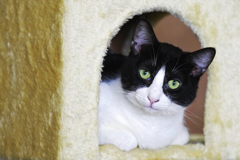 Janis, a cat that is available for adoption looks around the recently opened Cat Cafe in downtown San Diego. The coffee shop has a neighboring room where customers can interact with cats that are available for adoption through the San Diego Humane Society.