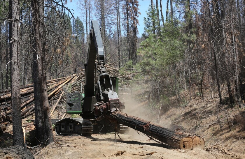 Branches are removed from a tree harvested from the burn area of the Rim fire in July.