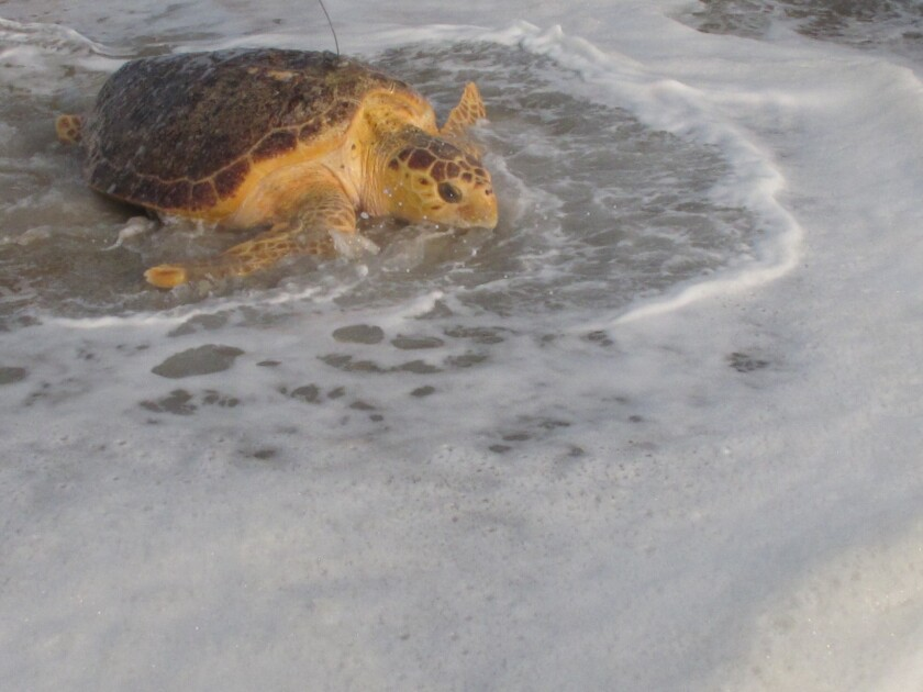 Tabitha, a 168-pound loggerhead turtle, crawls into the ocean in Point Pleasant Beach, N.J. Tuesday, Sept. 15, 2020, after being released by Sea Turtle Recovery, a volunteer group that rescues sick or injured turtles, nurses them back to health and returns them to the ocean. Tabitha was stranded in the surf in Cape May, on June 27, 2019, where she was near death weakened by pneumonia, severe anemia, and an intestinal blockage. The antenna on her back is a tracking device that should last for about 30 days. (AP Photo/Wayne Parry)
