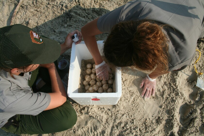 Kemp's ridley sea turtle nests are collected and counted at Padre Island National seashore.