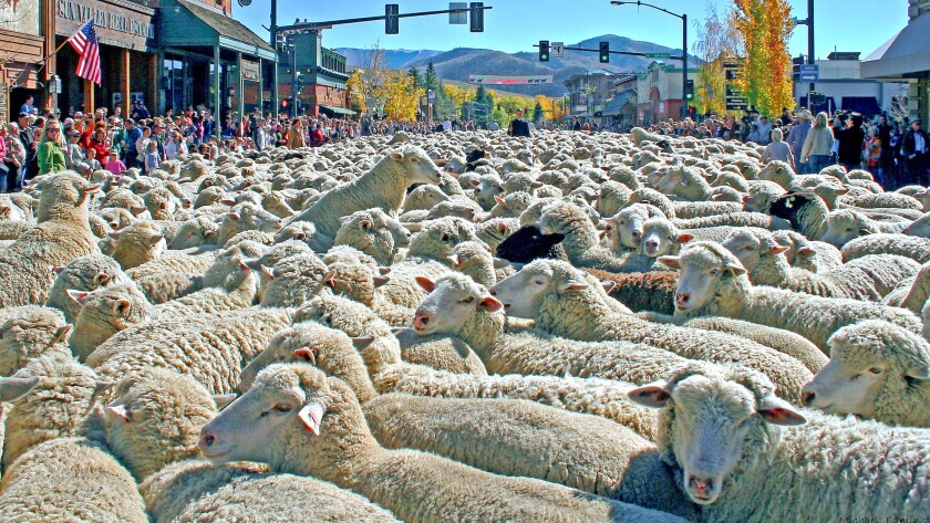 Main Street in Ketchum, Idaho, becomes a sea of sheep as the animals are moved to their winter grazing grounds. That gives rise to the 18th annual Trailing of the Sheep Festival Oct. 9-12.
