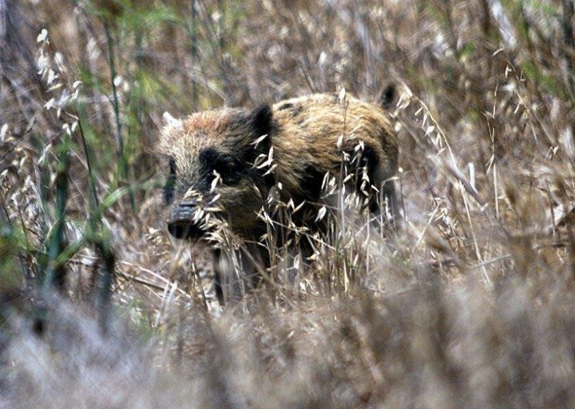 Osman, Stephen –– – FILE PHOTO:A feral pig on Santa Cruz Island make its way along a grassy field. Archeologists are concerned about the damage to ancient Chumash burial sites caused by the pigs. Digital Image taken 07/24/2002 Photograph by Stephen Osman/Los Angeles Times