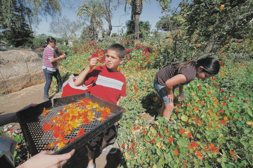 Miguel Herrera, 10, collects nasturtium flowers for garnishes at Olivewood Gardens and Learning Center in National City.