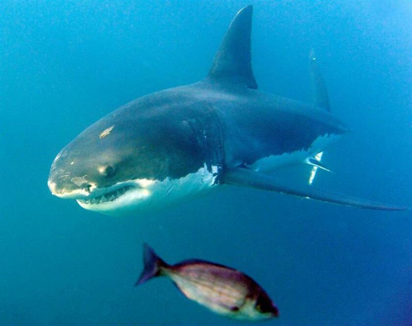 La observación y estudio del tiburón blanco para su conservación en las aguas mexicanas de Isla Guadalupe resultó exitosa, identificándose 96 especímenes, informó hoy la Comisión Nacional de Áreas Naturales Protegidas( Conanp). EFE/EPA/ARCHIVO