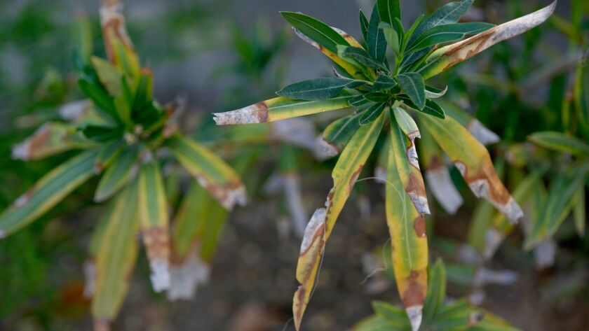Oleanders in South Pasadena show symptoms of leaf scorch, a bacterial disease transmitted by an inse