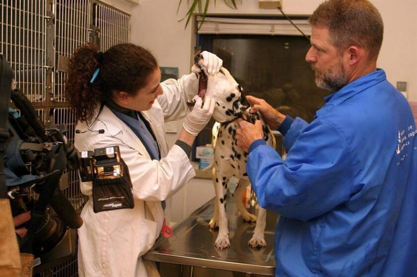 Danver, uno de los 30 perros procedentes de China es revisado por personal especializado, el miércoles 25 de mayo, en un centro de la Liga Animal Americana en Long Island donde serán ofrecidos en adopción. EFE/Archivo