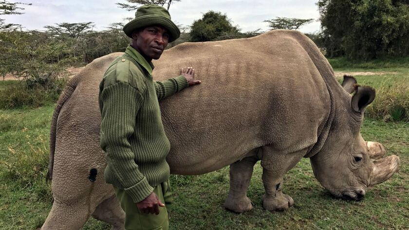 In this July 28, 2017, photo, wildlife ranger Zachariah Mutai takes care of Sudan, the world's last male northern white rhino, at the Ol Pejeta Conservancy in Laikipia county in Kenya.