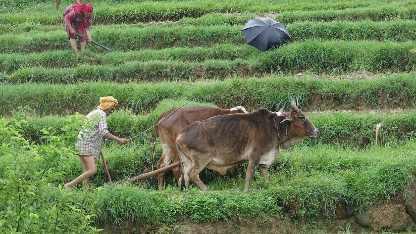An Indian farmer ploughs his farm with the help of oxen in Baldhar village, near Dharamsala in India