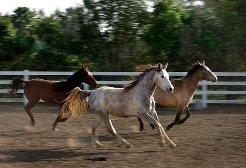 Horses from the Pegasus Rising Project. (K.C. Alfred / Union-Tribune)