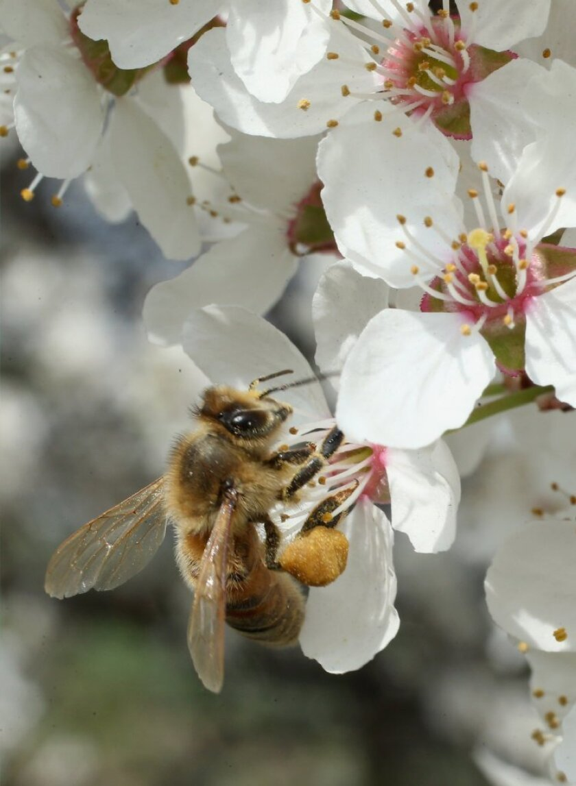 A honeybee harvests nectar from a cherry blossom