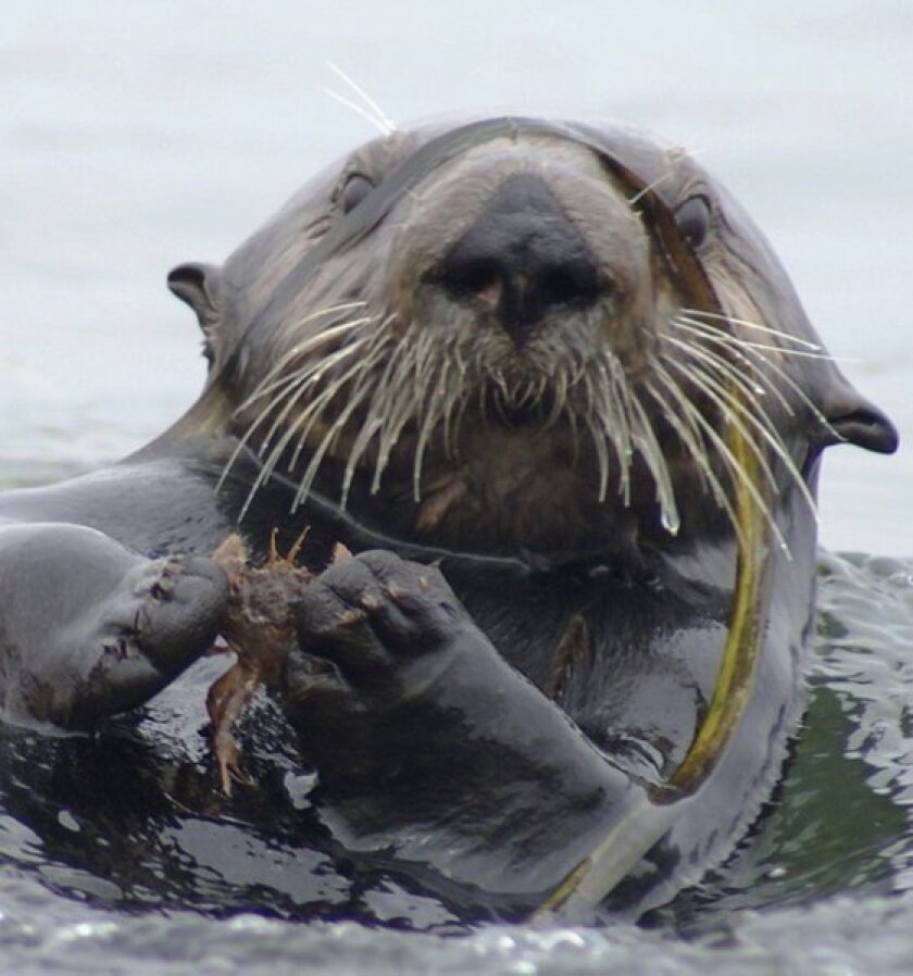 A study links sea otters to improved seagrass growth in Elkhorn Slough, a major estuary in Monterey Bay.