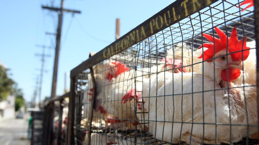 Chickens rests in a cage behind Bait Aaron where they were being slaughtered for the Orthodox Jewish tradition of kaparot in Los Angeles on September 13, 2013.
