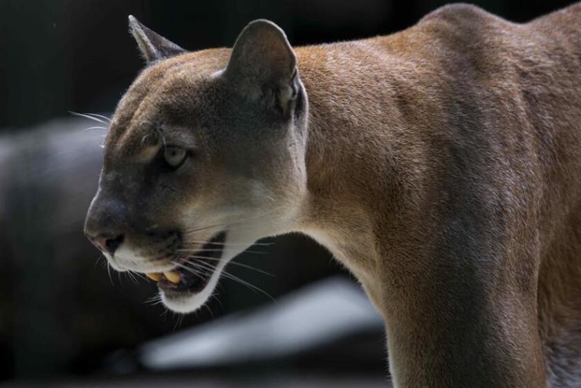 Autoridades policiales de Oregón dijeron hoy que una vecina de la localidad de Gresham, desaparecida en agosto, fue asesinada presuntamente por un puma, lo que sería el primer ataque mortal de este felino salvaje confirmado por el estado. EFE/ARCHIVO