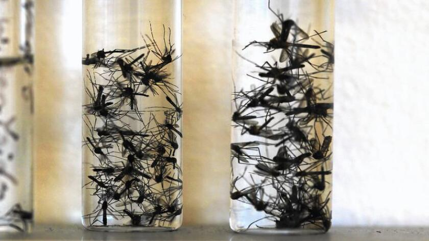 The yellow fever mosquito, trapped in vials at the San Diego County Vector Control lab, and the Asian tiger mosquito have both been found in parts of California.