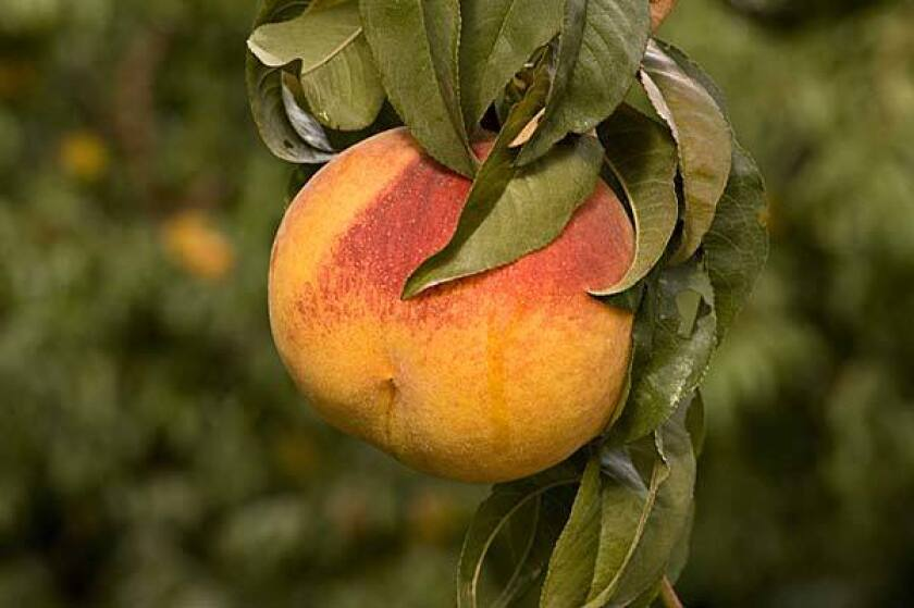 An Autumn Lady peach hangs on a tree at Tenerelli Orchards in Littlerock, Calif., in the high desert. It's a late-ripening variety whose harvest has just begun.