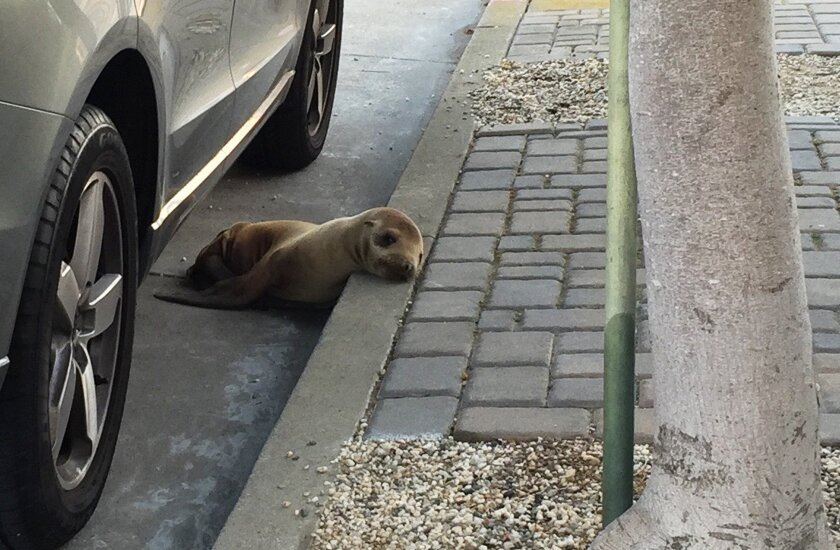 This photo provided by The Marine Mammal Center shows a stranded sea lion pup lying next to a car on a San Francisco street Thursday, April 30, 2015. Video from The Marine Mammal Center in nearby Sausalito shows the male sea lion nicknamed Rubbish hiding under a car and waddling away from rescuers. They eventually got a net around the pup, moved it into a crate and took it to the center. KNTV reports that a veterinarian there recognized Rubbish, who also was rescued in Santa Barbara in February. Then, he was treated for pneumonia and malnutrition. (Adam Ratner/The Marine Mammal Center via AP)