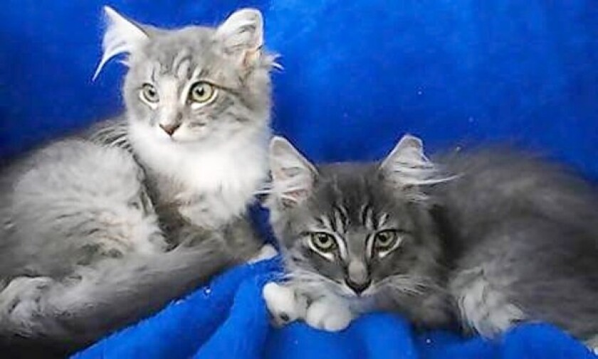 Maine Coon 12-week-old kittens.