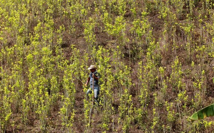 Los cultivos de coca en Colombia aumentaron el 11 % en 2017 hasta alcanzar la cifra récord de 209.000 hectáreas, mientras que la producción potencial de cocaína pura también subió el 19 %, hasta las 921 toneladas métricas, según una estimación publicada hoy por la Casa Blanca. EFE/Archivo