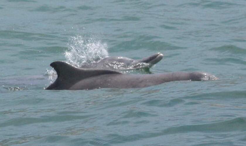 Two humpback dolphins surface for air.