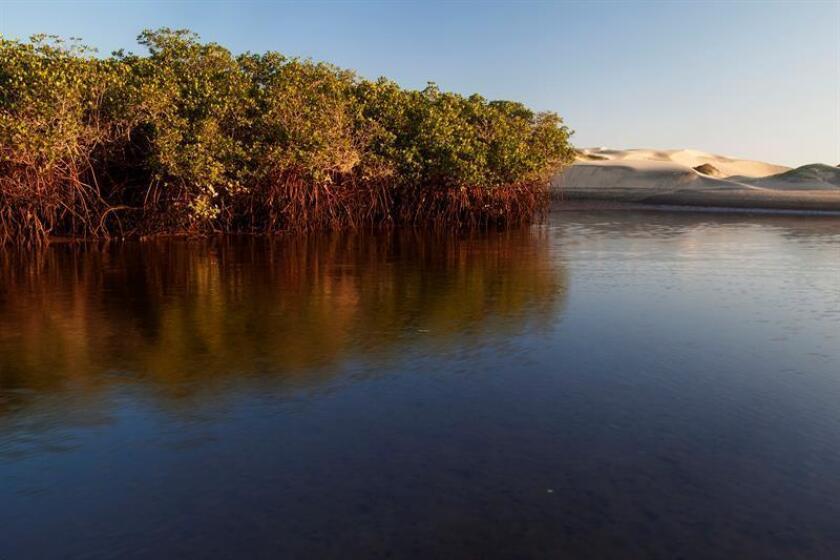 Fotografía cedida por la Organización Costa Salvaje y fechada el 8 de junio de 2015, que muestra un manglar en Bahía Magdalena, en el estado de Baja California Sur (México). EFE/Claudio Contreras Koob/Organización Costa Salvaje/SOLO USO EDITORIAL