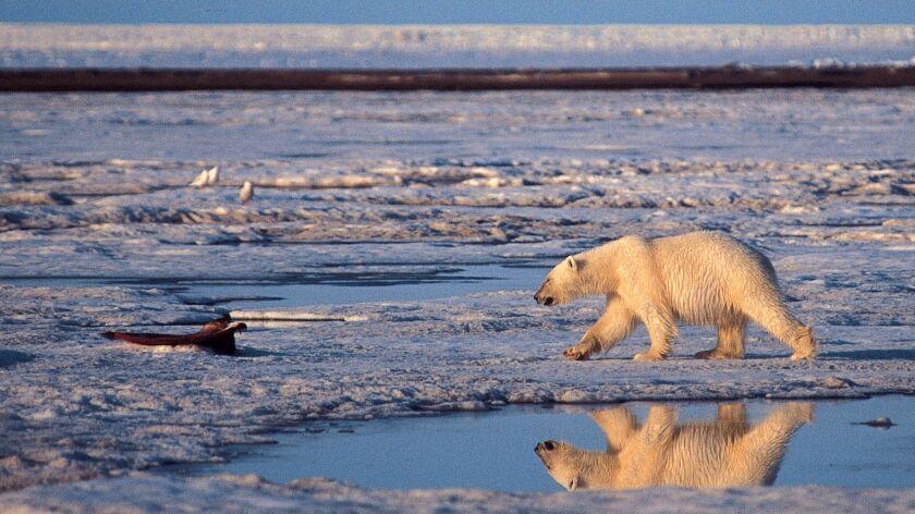 A polar bear walks in the Arctic National Wildlife Refuge on Sept. 12, 2003.