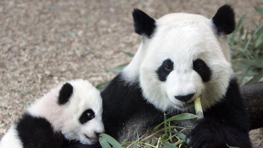 Pandas at the San Diego Zoo (/ UT San Diego)